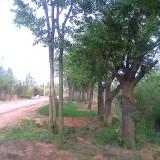 各规格 朴树