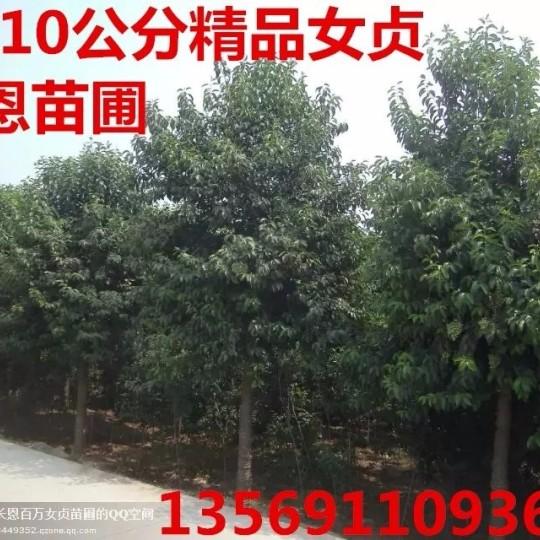 焦作10公分大叶女贞球行道树