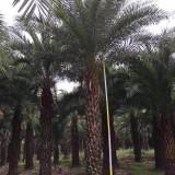 杆高3米中东海枣