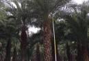 中东海枣(杆高3米)