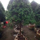 30公分红豆杉