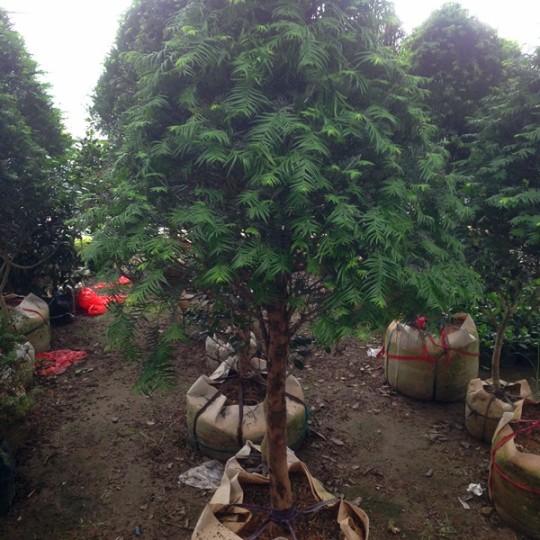 高30公分红豆杉