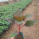 一支笔红豆杉苗