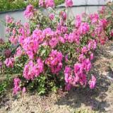 日本矮紫薇