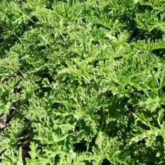 云南香叶天竺葵种苗