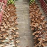 福建基地大量批发老人葵(华盛顿棕榈)杆高4米,价格便宜,成活率高