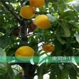金冠8-18桃树苗