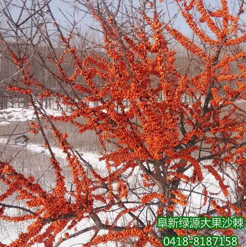 深秋红大果沙棘苗