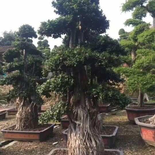 福建造型榕树桩景,价格2800