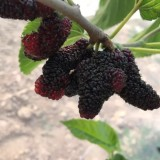 最适合北方地区种植的果桑--黑珍珠桑苗、果桑苗 桑树