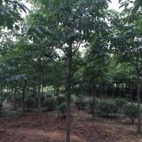 5-15公分七叶树