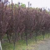 3-8公分紫叶李