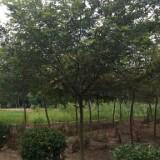 5公分朴树