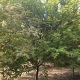 2-8公分鸡爪槭