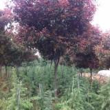 1-10公分高杆红叶石楠