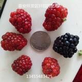 双季红树莓苗培育出售 新疆树莓 当年结果树莓苗