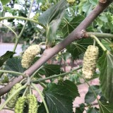 桑葚采摘稀有品种-冰糖椹桑苗 果桑苗 桑树苗