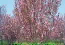 8公分日本樱花