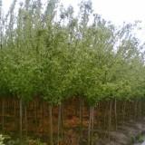 4公分复叶槭