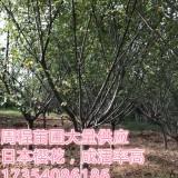 日本樱花  (各种规格均有)