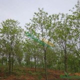 乌桕树(各种规格均有)
