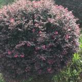 冠幅80公分红花继木球(各种规格均有)