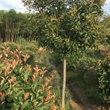 5公分 单杆红叶石楠(各种规格均有)