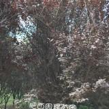 地径5公分红叶李(各种规格均有)