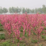 4公分红叶碧桃(多种规格有售)