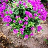 紫花笼形球形三角梅