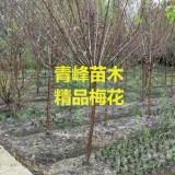 成都梅花种植基地梅花价格