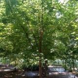 10公分美国红枫一级苗