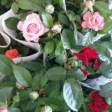 盆栽小玫瑰、月季