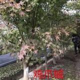 地径7公分鸡爪槭
