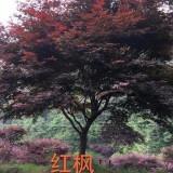地径7公分红枫