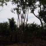 2-40公分朴树