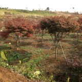 红枫大规格红枫8到18公分供应