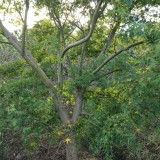 鸡爪槭大规格20公分到23公分