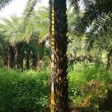 杆高3.5-4.5米中东海枣
