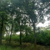2-35公分榉树