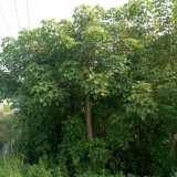 10公分重阳木