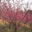 地径5-8公分原生红梅
