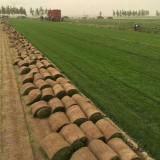 冷季型早熟禾草坪