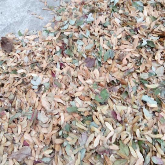 血皮槭种子