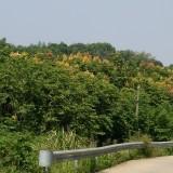 大量峦树(又名国庆树)