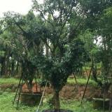 荔枝果树价格