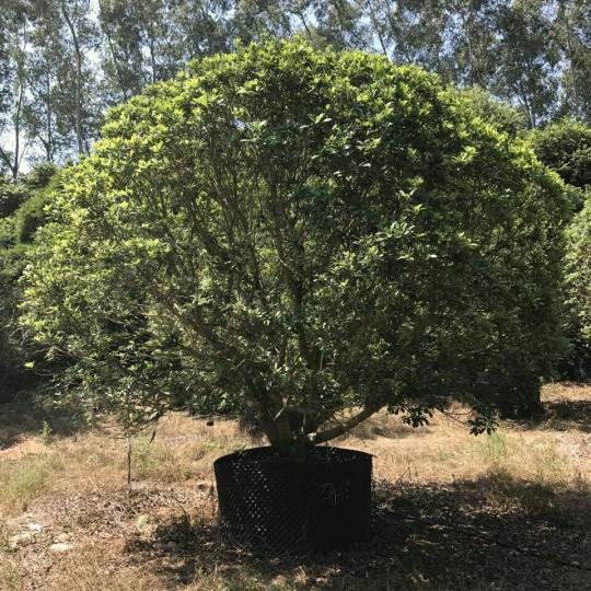 杨梅树价格