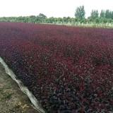 紫叶矮樱 15902961180