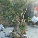 千年枸骨树