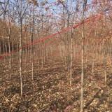 5公分美国红枫
